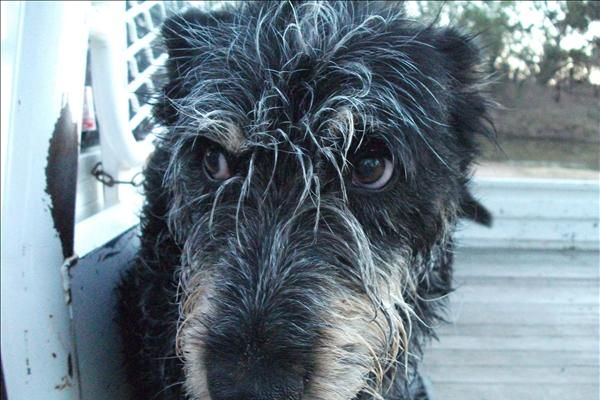 smithfield dog photo | Audrey, the Smithfield cattle dog. She's just had a swim and didn't ...