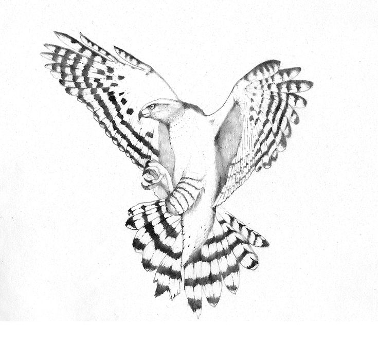 An illustration of a goshawk that I was commissioned to do for Goshawk Music.