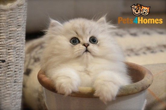 This is my new favorite kind of cat EVER. Silver Persian Chinchilla. I will have one.
