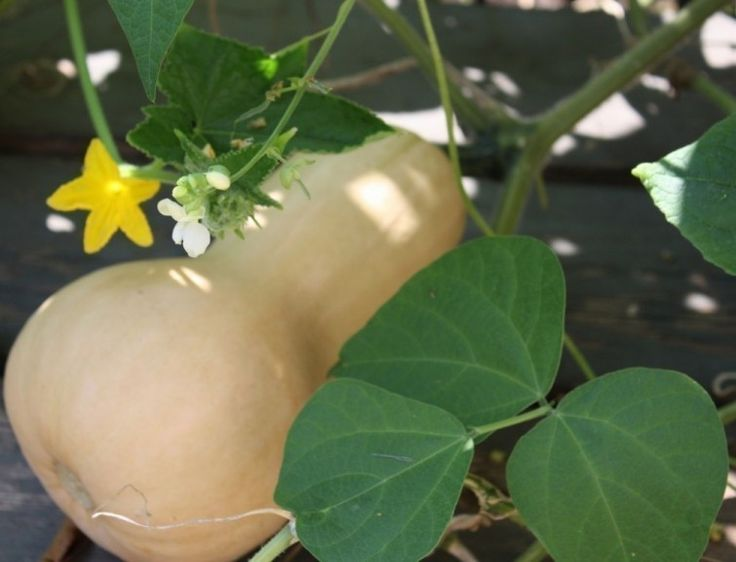 Cómo cultivar calabazas en casa- cosechar