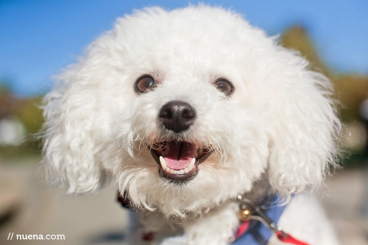Chloe the Bichon Frise: Daily Dogs, Happy Faces, Small Dogs, Pet Grooms, Petite Bichon, Doux Petite, Canin Friends, Frize Dogs, Furry Friends