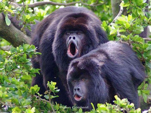 Black howler monkey, Belize city Wauw, wat leuk...