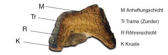 Schema des Zunders - source of zunderschwamm or mushroom caps Amadou