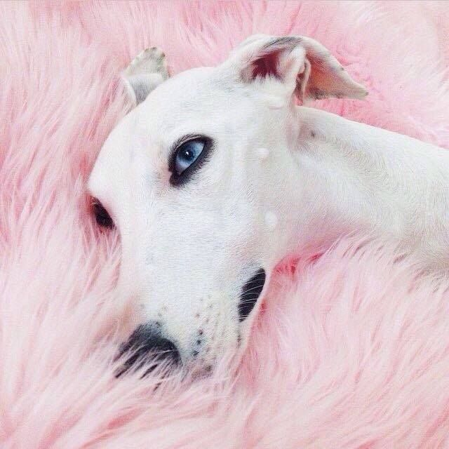 Beautiful Blue Eyes l whippet