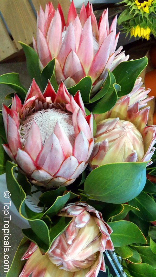 Protea Sp Sugarbush The Genus Protea Which Has More Than 92 Species Subspecies And Varieties The Protea Flower Australian Native Flowers Unusual Flowers