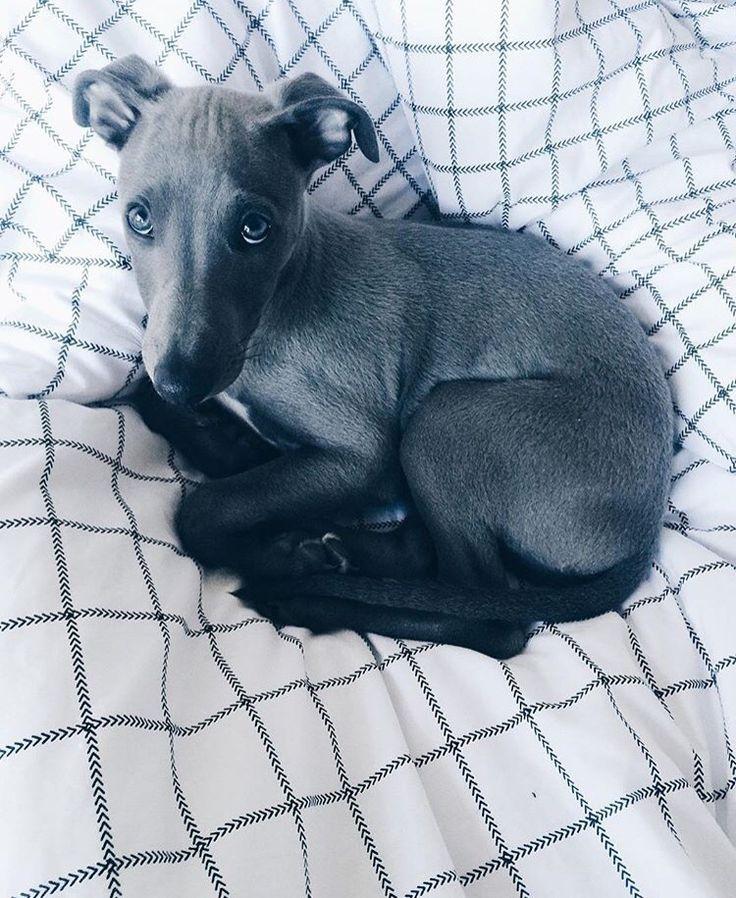 Blue velvet whippet