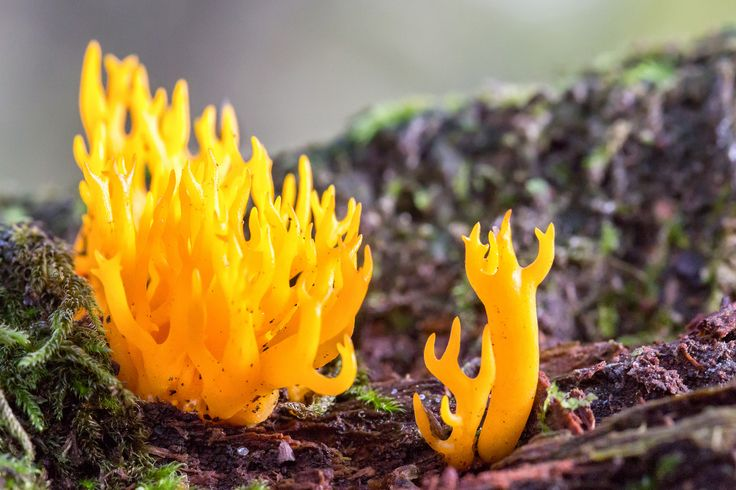 https://flic.kr/p/gHhYjS | Fungi Fire :) | Well obviously not really but it is a super funky yellow stagshorn fungus I found yesterday on my way back from the hospital.  Never seen a fungi like it before.  Put a blog together today with a whole load of fungi images taken while walking the dog over the last week.  oliverwrightphotography.com/blog/view/a-photographic-stud...
