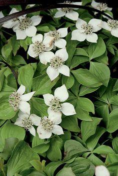 Ce petit couvre sol vivace, forme des tapis de fleurs blanches dès le mois de mai, il aime la mi-ombre accompagnée d'un sol frais et léger.