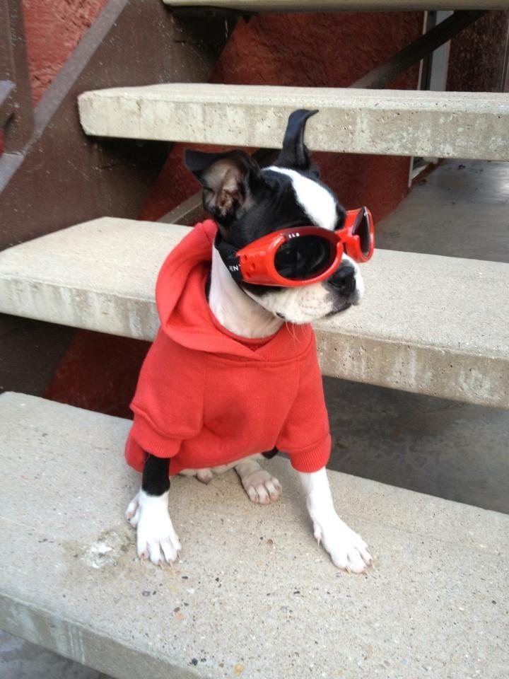 Boston terrier puppies el paso