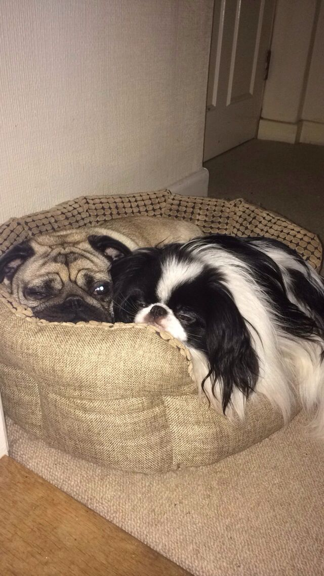 Pug cuddles with Japanese chin