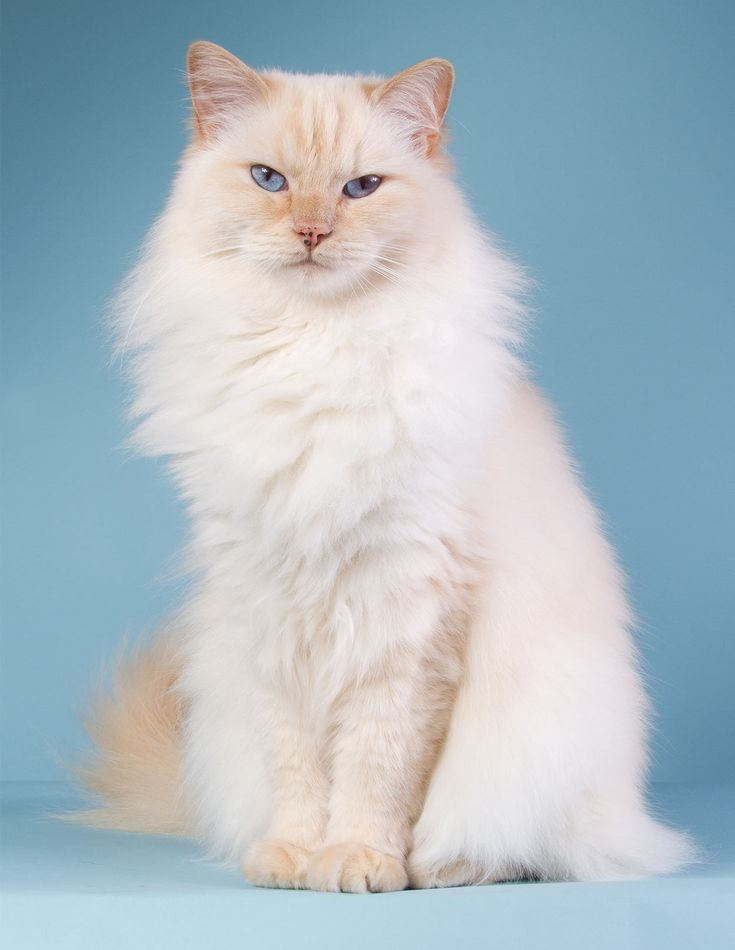 230 Ragdoll Cat Names – Great Ideas For Naming Your Ragdoll Kitten
