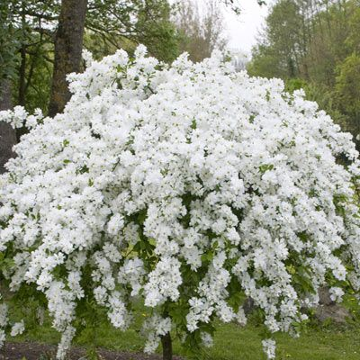Exochorda - deciduous shrub with May blooms, will thrive in most free draining soil but prefers full sun. As with most spring flowering shrubs, prune straight after flowering.