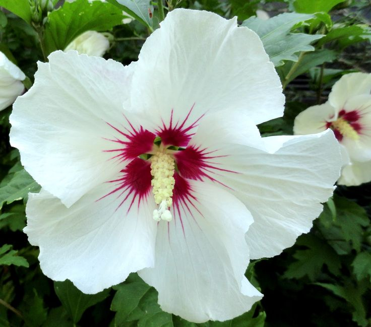 Hibiscus syriacus 'Red Heart' - altheastruik, heemstroos - Heesters | Maréchal 1,75 m