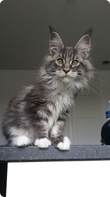 chat maine coon silver tabby curieux etonne                                                                                                                                                                                 Plus