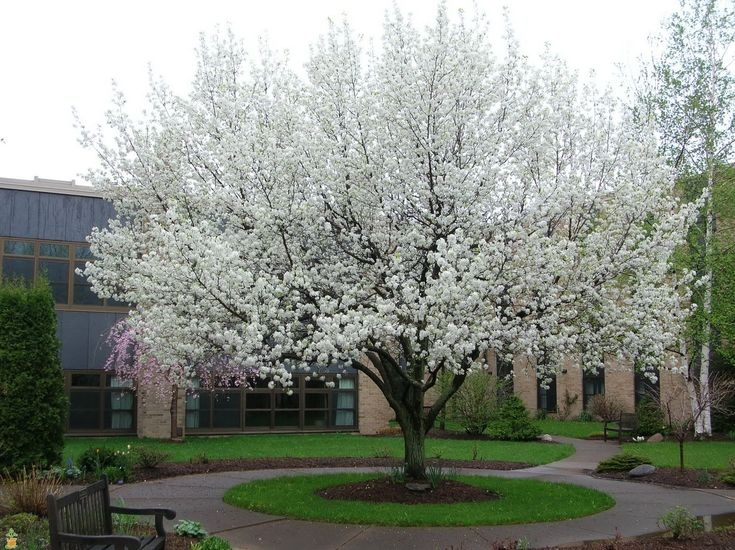 The Cleveland Flowering Pear Tree is a miracle from nature. With absolutely no maintenance required this tree with remain flawless year after year. Drenched in white blossoms every spring, it will be sure to turn heads. The beauty does not stop there! The summer brings a tree covered in shiny green leaves that turn a beautiful mahogany red in the fall.