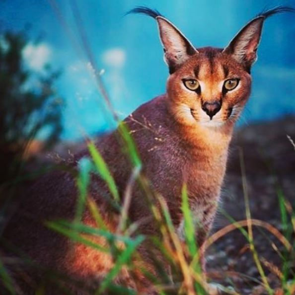 """13+Facts+about+The+Cutest+Species+""""+Caracal+Cat+""""+-+Cats+In+Care"""