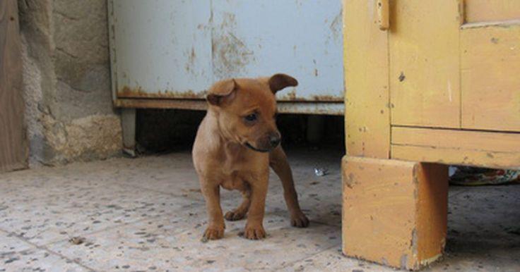 Síntomas de infección en el tracto urinario de un cachorro. Las infecciones del tracto urinario en los cachorros son muy comunes. Una infección del tracto urinario puede dar lugar a exceso de orina y la incapacidad del cachorro para controlar dónde y cuándo orina. Esto se interpreta a menudo por los propietarios como un problema de comportamiento y resultados en la formación del comportamiento en casa ...