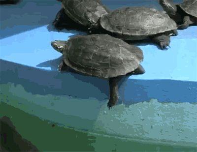 Cette tortue qui a trahi sa propre espèce.   22 preuves que les animaux sont tous des connards