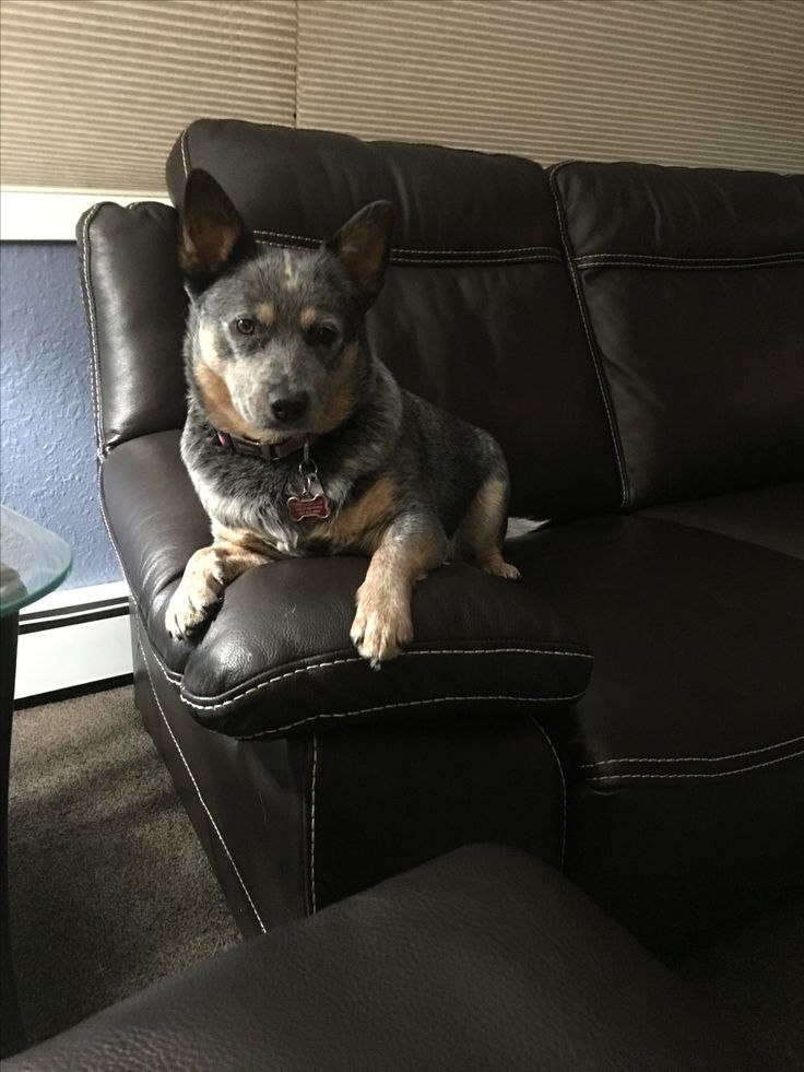That is one serious looking Heeler.