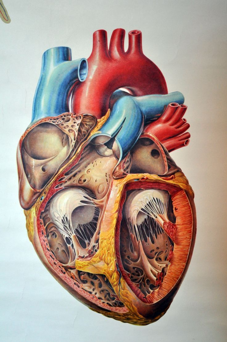 Anatomical heart is significantly more complex than valentine heart. #medical_illustration