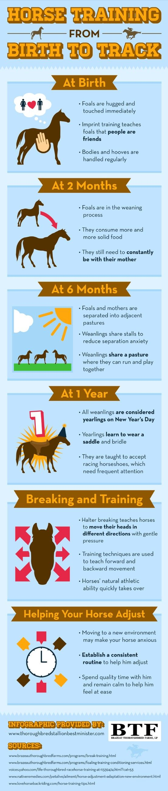 By the time a foal is two months old, he should start to eat solid food. During this time, however, a foal needs to be constantly near his mother. Learn about horse training in this infographic from a horse breeder.
