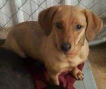 Dachshund dog for Adoption in Aurora, CO. ADN-552902 on PuppyFinder.com Gender: Female. Age: Young