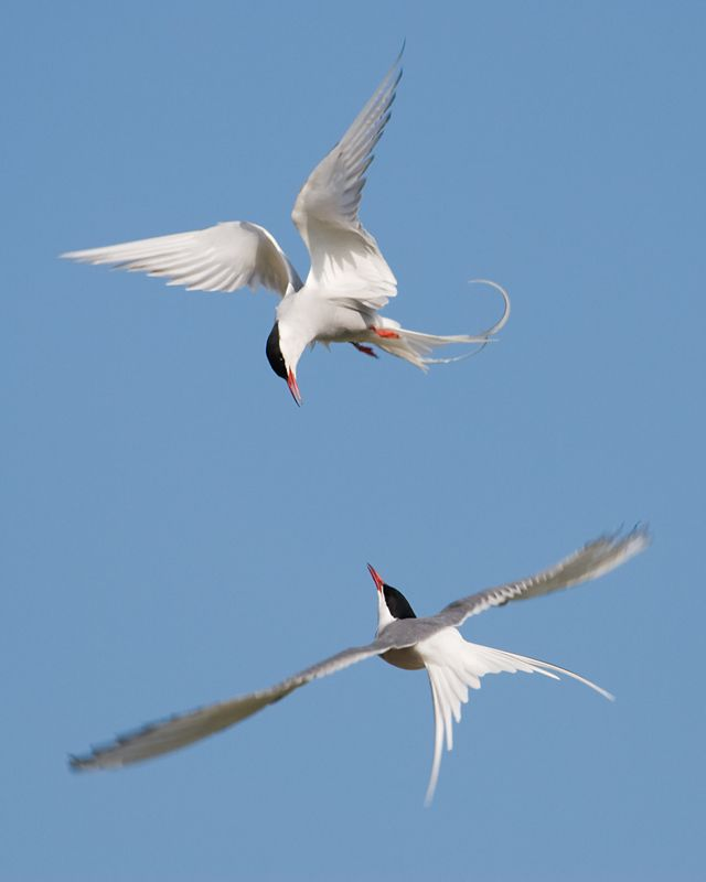 Arctic Tern  http://rogergregory.files.wordpress.com/2011/04/arctic_tern_nigel-tinlin.jpg