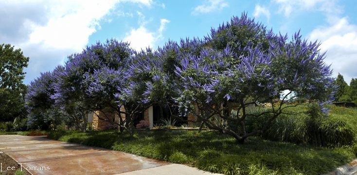 Texas Lilac Vitex Tree Vitex Tree Perennial Garden