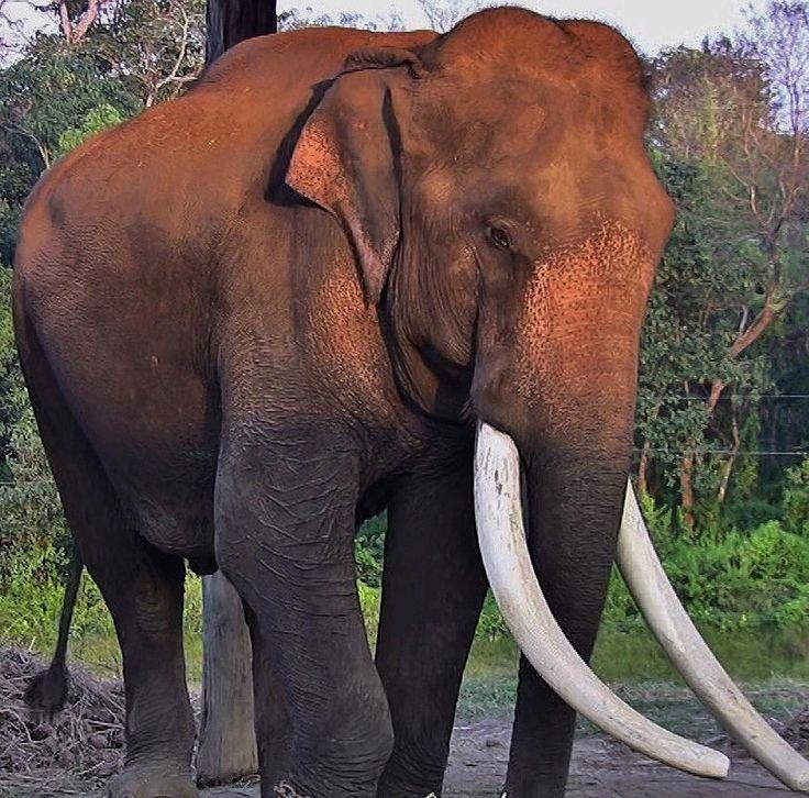 roba66 posted a photo:  NEPAL, Royal Chitwan National Park, Elephant Camp of the Rangers, (serie),  NEPAL, Royal Chitwan-Nationalpark.  Der Chitwan-Nationalpark ist ein Nationalpark in Nepal, der 1973 als erster Nationalpark des Landes unter dem Namen Royal Chitwan National Park gegründet wurde.  Er nimmt eine Fläche von 932 km² ein und liegt im Terai, den südlichen Vorbergen des Himalaya. Die südliche Grenze des Nationalparks ist zugleich die Landesgrenze zu Indien. Im Osten schließt sich…