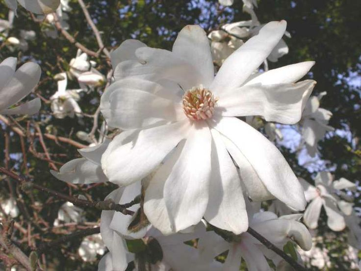 Magnolia × loebneri 'Leonard Messel Height: 20-30 feet. Spread: similar Notes: produces large numbers of showy blooms, lovely fragrance, medium maintenance.