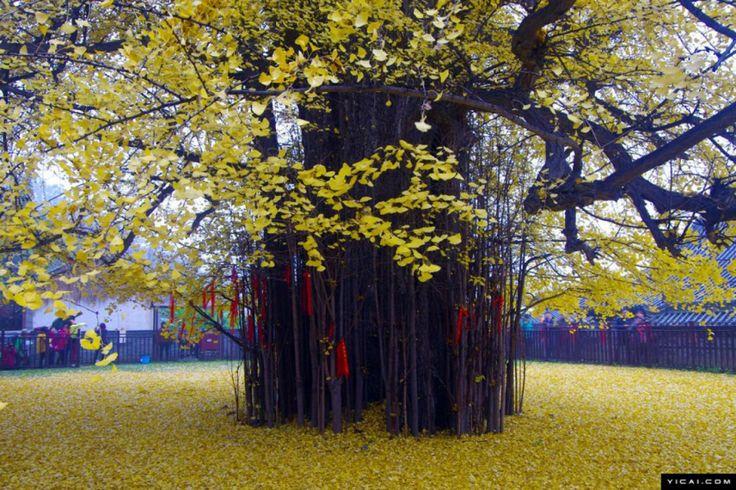 L'arbre qui est responsable de cette superbe vision est un ginkgo biloba, aussi appelé arbre aux cinquante écus, vieux de 1 400 ans. Cet arbre ancestral, dont l'espèce fait partie des plus vieux au monde (ils seraient apparus bien avant les dinosaures), se trouve aux côtés du temple bouhhdiste de Gu Guanyin dans les montagnes de Zhongnan.
