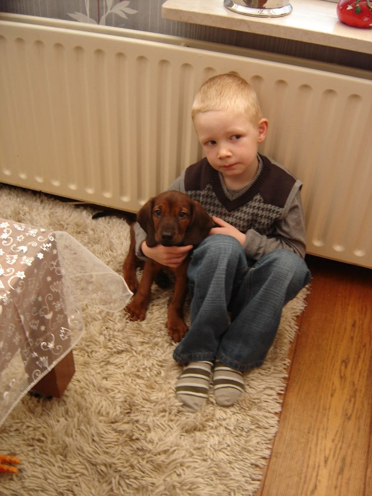 Max, as a puppy. Bavarian Mountain Hound. Max als pup. Beierse Bergzweethond