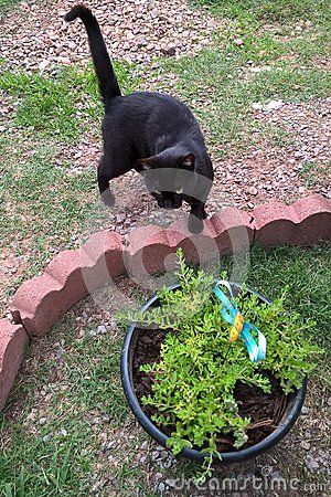 Black cats are domestic cats with black fur that may be a mixed or specific breed. The Bombay breed is exclusively black. All black fur pigmentation is slightly more prevalent in males than female cats. The high melanin pigment content makes most black cats to have yellow or golden eyes. This particular black cat is hungry and thinks the metal butterfly in the flower pot is real.
