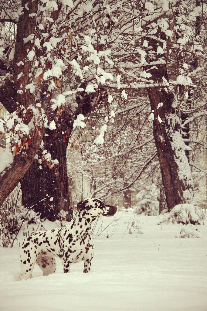 Dalmatian Lilu Далматин Лилу