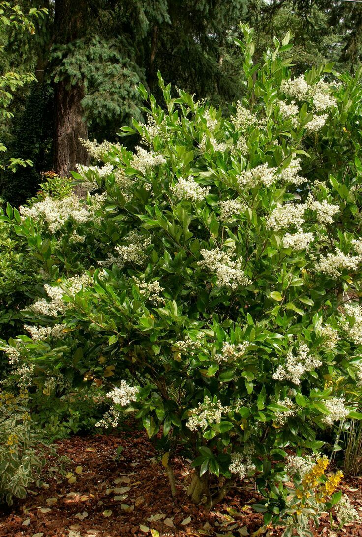 Best shrubs for full sun and privacy - Waxleaf Privet Ligustrum Japonicum Texanum Compact Habit With Glossy Foliage Responds Well To Pruning Into Topiary Or Small Standard Trees