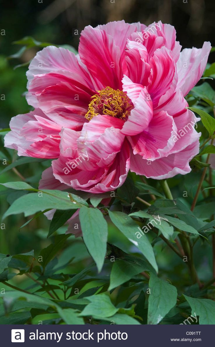 Download this stock image: Tree peony (Paeonia suffruticosa 'Shima-Nishiki') - C091TT from Alamy's library of millions of high resolution stock photos, illustrations and vectors.