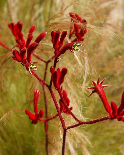 Anigozanthos is a small genus of Australian plants in the Bloodwort family Haemodoraceae. The 11 species and several subspecies are commonly known as kangaroo paw and catspaw depending on the shape of their flowers.