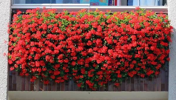 Ako sa starať o muškáty čo najlepšie, aby sa vám odmenili bohatými žiariacimi kvetmi | Nápady-Návody.sk
