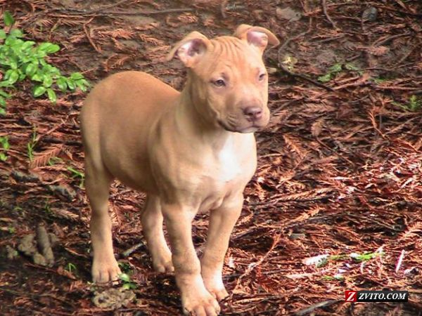 American red nose pitbull, looks exactly how Harley did as a pup!