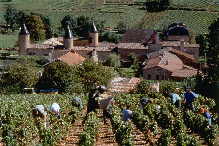 Vendanges à Chasselas - Beaujolais blanc - Troncy Inter Beaujolais