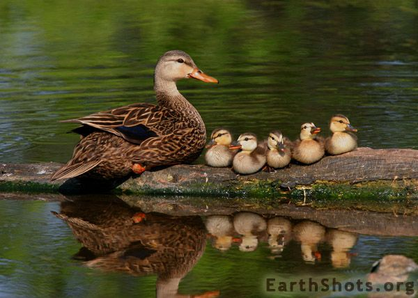 These Pit Bulls Just Wanted Their Own Baby Ducks |Real Baby Ducks