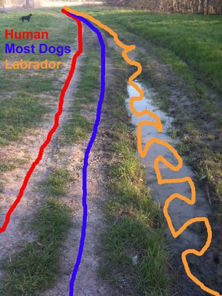 So true Living with a labrador<<<actually most of the time it actually crosses the human line XD they are such crazy walkers