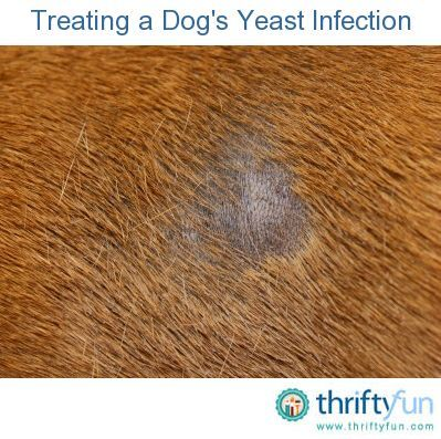 This is a guide about treating a dog's yeast infection. An overabundance of yeast can result in infections on your dog's skin, in the ears, and other areas.