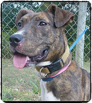 Act quickly to adopt Pets at this Shelter may be held for only a short timeMarietta, GA - Pit Bull Terrier Mix. Meet JOLENE a Dog for Adoption.