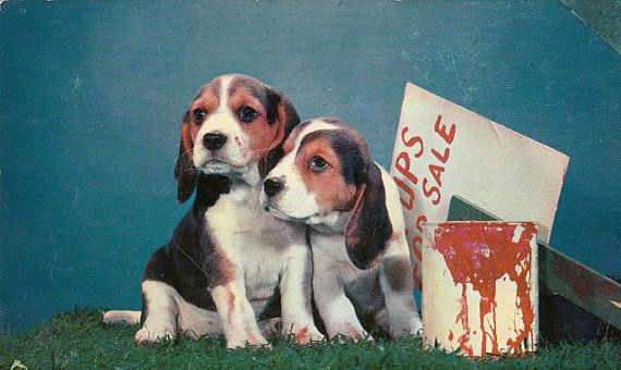 Beagle Pups For Sale Dogs 1950s