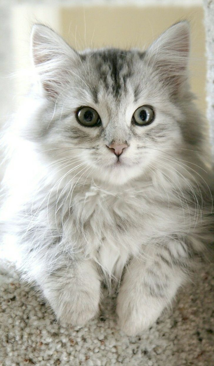 Cute Cats Baby Pics Cute Cats Roblox Cute Cats