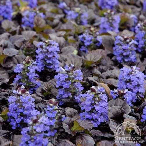 Ajuga reptans 'Black Scallop' Hmmm... not sure about this