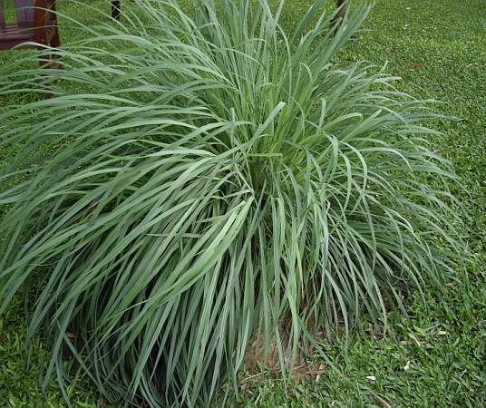 """Citronella Grass (Cymbopogon Nardus) - Perennial Zone 10-11 (Annual elsewhere) Full Sun 5'-6' Height. Vertical, fragrant, tropical grass with gray-green, graceful arching 3' leaves. Don't spread by runners-clump gets larger.Regular water, well drained soil. Plant in pretty pots or in ground near patios or paths. Known as """"mosquito plant"""" from use in natural repellents, but just planted in the garden-it has little effect. To repel, crush leaves & rub on your skin. May also repel flies & cats."""