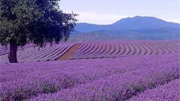 Lilába borul Tihany  A levendula fontos szerepet játszott Tihany történetében, és a mai napig jeles hagyományai vannak a levendula termesztésének és feldolgozásának.