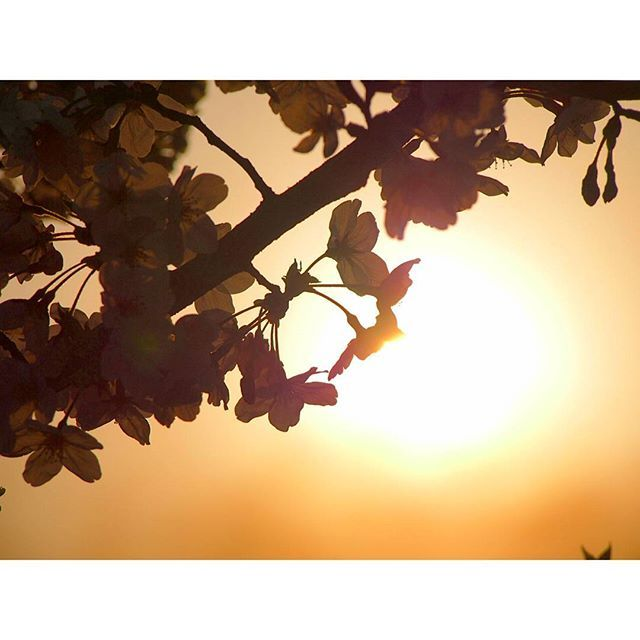 【lemon.photo_gallery】さんのInstagramをピンしています。 《* #桜#夕焼け #写真撮ってる人と繋がりたい #はなまっぷ#wp_flower #tv_depthoffield #tv_flowers》